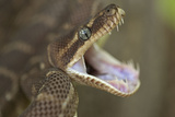 Rough-Scaled Python Defensive Posture Photographic Print