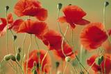 Common Poppies Photographic Print