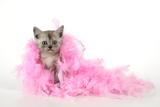 Black Smoke Kitten (8 Weeks) with Pink Photographic Print