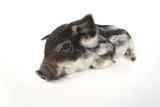 Mangalitza Piglet on White Background Photographic Print