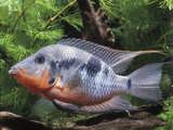 Aquarium Fish Firemouth Cichlid Photographic Print