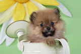 Pomeranian Puppy Sitting in Watering Can (10 Weeks Old) Photographic Print