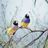 Black-Headed Gouldian Finch Pair Photographic Print