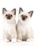Birman Kittens Photographic Print