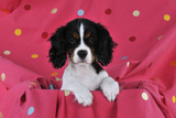 Cavalier King Charles Spaniel Puppy Sitting Photographic Print