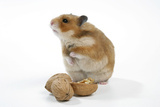 Syrian Hamster with Walnuts Photographic Print