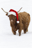 Scottish Highland Cow Standing on Snow Photographic Print