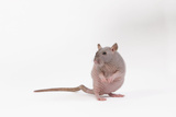 Hairless Rat in Studio Photographic Print