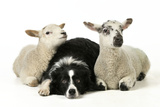 Dog and Lamb, Border Collie Sitting Between Two Cross Photographic Print