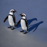 African Black-Footed Jackass Penguin Holding Hands Photographic Print