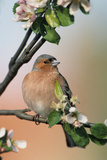 Chaffinch Male on Branch of Apple Tree with Blossoms Photographic Print
