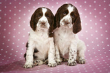 Springer Spaniels Puppies (Approx 10 Weeks Old) Sitting Photographic Print