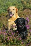 Yellow Labrador Sitting Behind Black Labrador Photographic Print