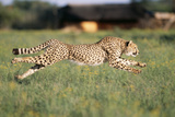 Cheetah Running Photographic Print