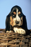 Basset Hound Puppy in Basket Photographic Print