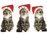 Norwegian Forest Cat X 3 Wearing Christmas Hats Photographic Print