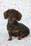 Smooth Haired Minature Dachsund Photographic Print