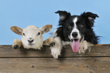 Dog and Lamb, Border Collie and Cross Breed Lamb Photographic Print