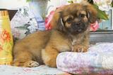 Tibetan Spaniel Puppy Photographic Print