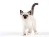 Birman Kitten Photographic Print