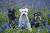 Miniature Schnauzers in Bluebells Photographic Print