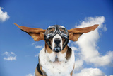 Basset Hound Dog Wearing Goggles with Ears Out Photographic Print