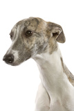 Whippet in Studio Photographic Print