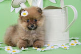 Pomeranian Puppy Sitting Next to Watering Photographic Print