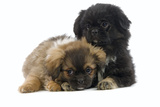 Tibetan Spaniel Puppies Photographic Print