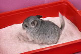 Chinchilla Baby in Sand Tray, Bathing to Help Photographic Print