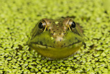 Green Frog in Duckweed Photographic Print