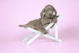 Weimaraner Lying in Deck Chair Photographic Print