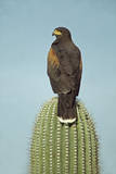 Harris' Hawk Perched on Saguaro Cactus Photographic Print