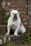 Bulldog Sitting on Steps Photographic Print