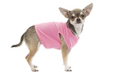 Short-Haired Chihuahua Wearing Pink T-Shirt Photographic Print