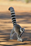 Ring-Tailed Lemur Walking with Tail Up Fotografisk tryk