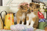 Shetland Sheepdog Puppies Photographic Print