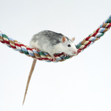 Pet Rat Balancing on Rope Photographic Print