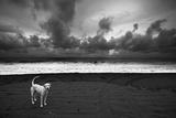 Dalmatian Fotografisk tryk