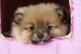 Pomeranian Puppy (10 Weeks Old) Photographic Print
