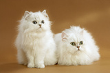 Two Chinchilla Cats in Studio Photographic Print