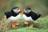 Atlantic Puffins Pair Reproduction photographique