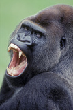 Lowland Gorilla Male with Mouth Open Photographic Print