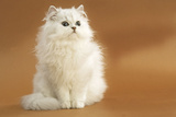 Long-Haired Persian Chinchilla Photographic Print