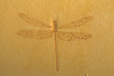 Fossil Dragonfly, Green River Formation Photographic Print