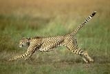 Cheetah Running Full Stretch Photographic Print