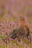 Red Grouse Standing Amongst Heather in Early Photographic Print