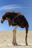 Ostrich with Head in Sand Photographic Print