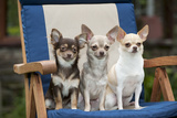 Chihuahuas Sitting on Garden Chair Photographic Print
