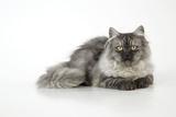 Chincilla X Persian Dark Silver Smoke Cat Photographic Print